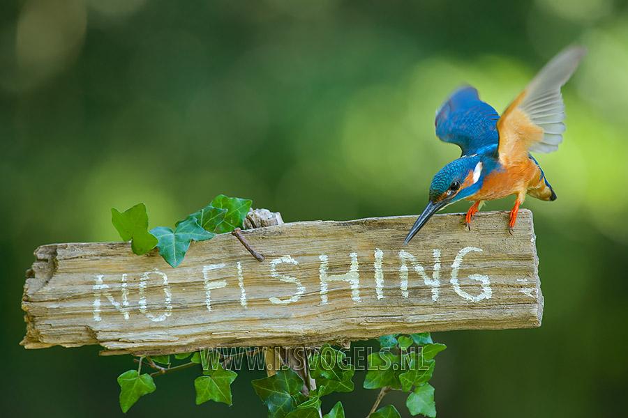 No fishing, ijsvogel