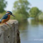 IJsvogels.nl_ALC7709