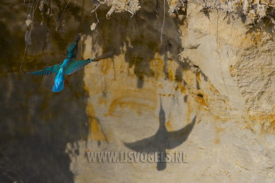 Een mannetje ijsvogel vliegt naar een nieuwe wand om een begin te maken van een nestgang.