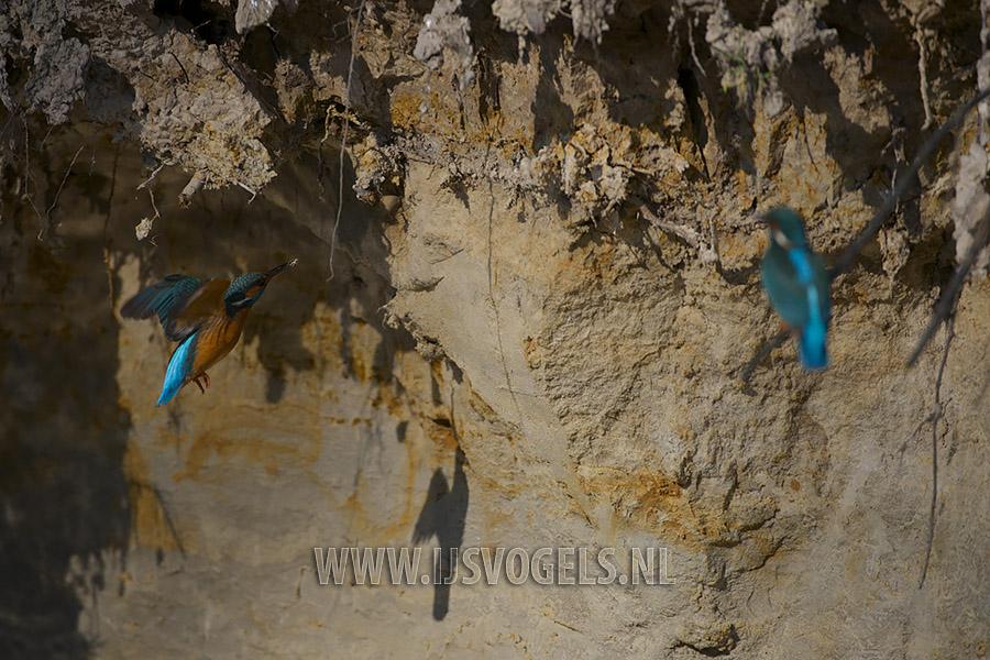 Terwijl het vrouwtje de wacht houdt, vliegt het mannetje naar de wand en pikt wat zand weg.