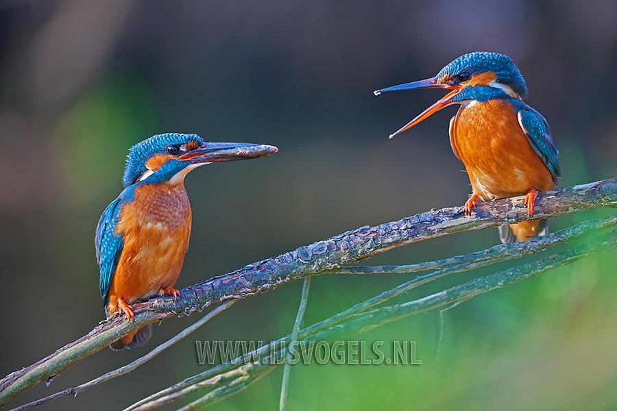 Het mannetje brengt een zojuist gevangen stekelbaars naar het vrouwtje toe.