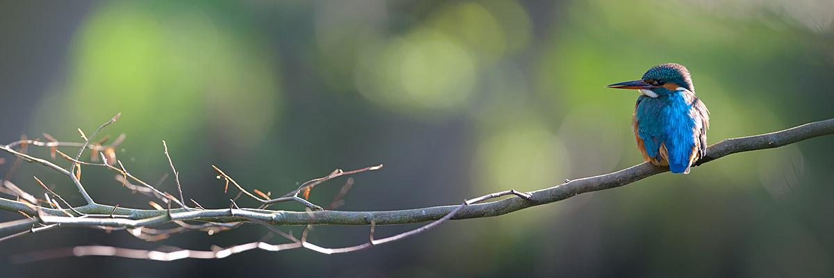 IJsvogelpanorama in tegenlicht