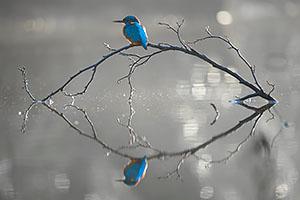 ijsvogelfoto3
