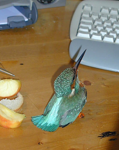 IJsvogel opvang