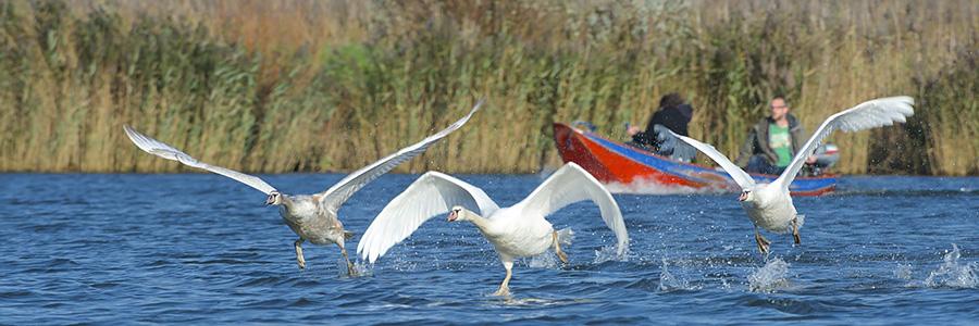 Opvliegende zwanen in de Biesbosch