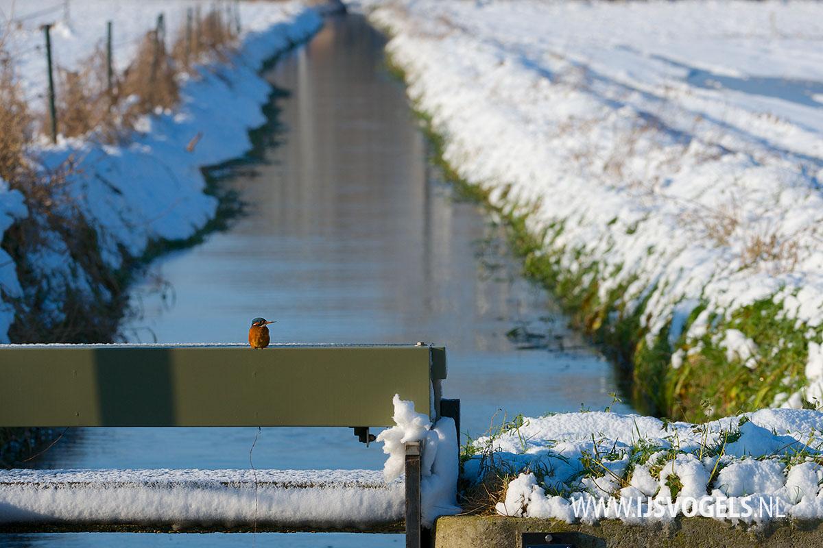 IJsvogels.nl_ALC1262