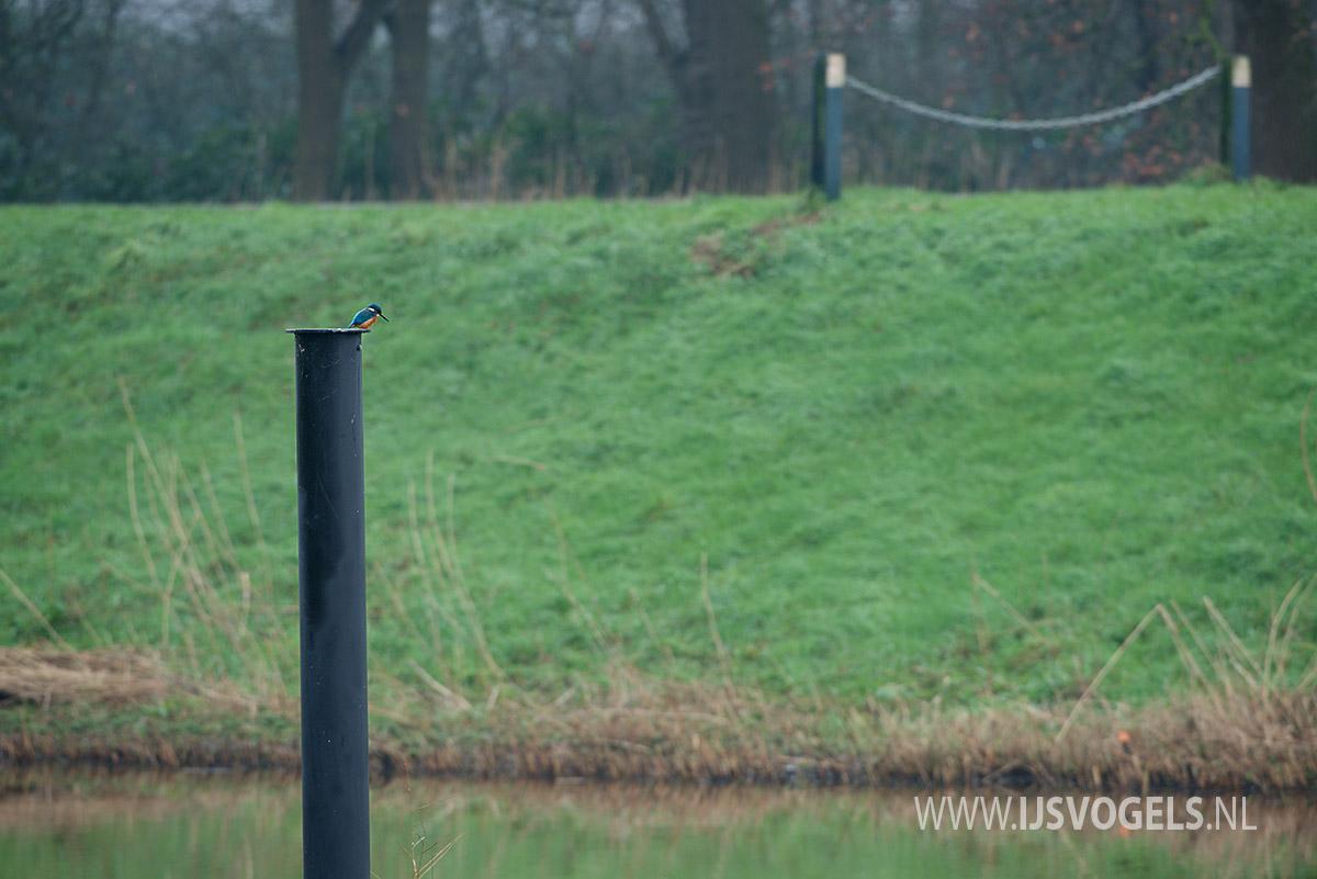 IJsvogels.nl_ALC9755