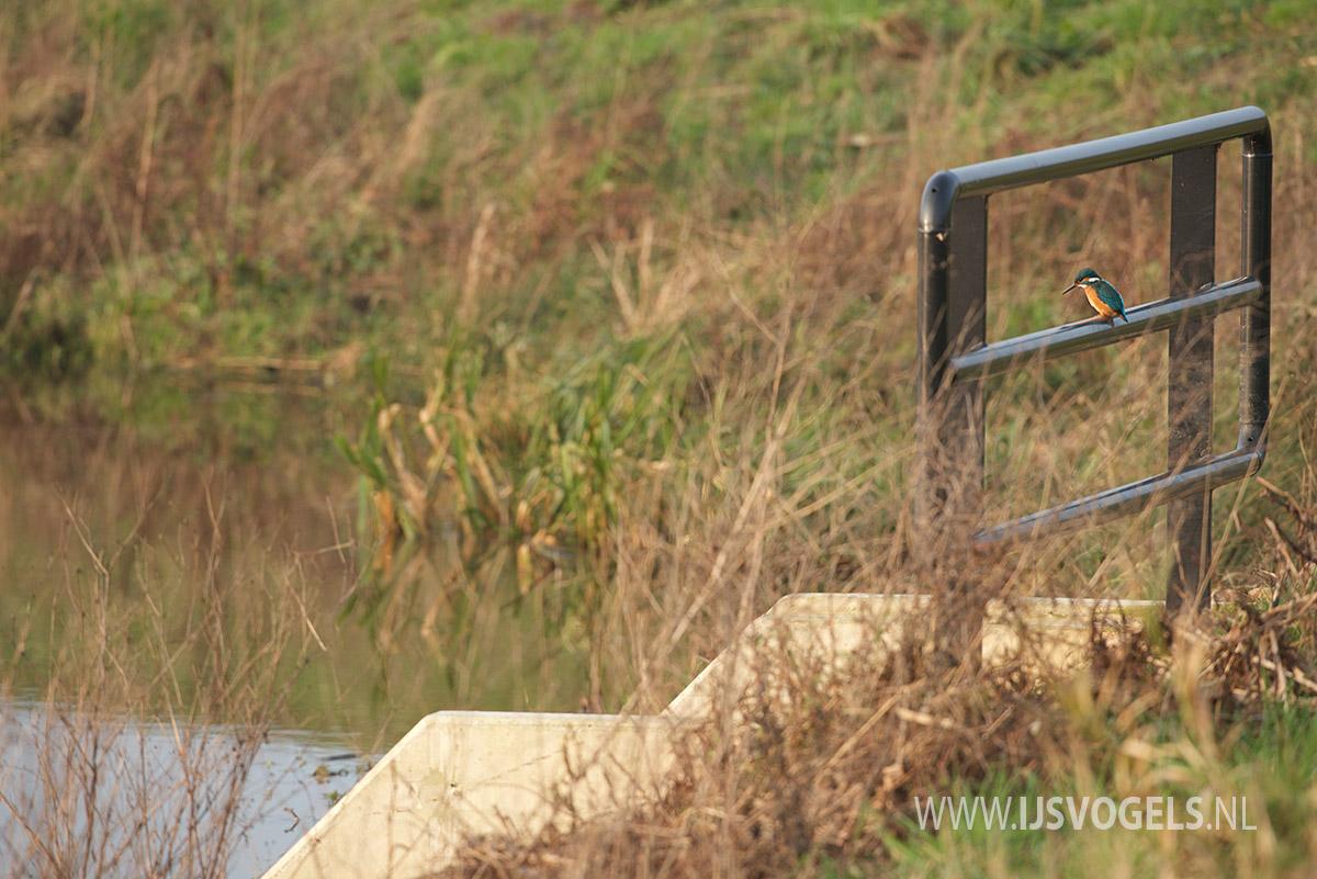 IJsvogels.nl_ALC9798