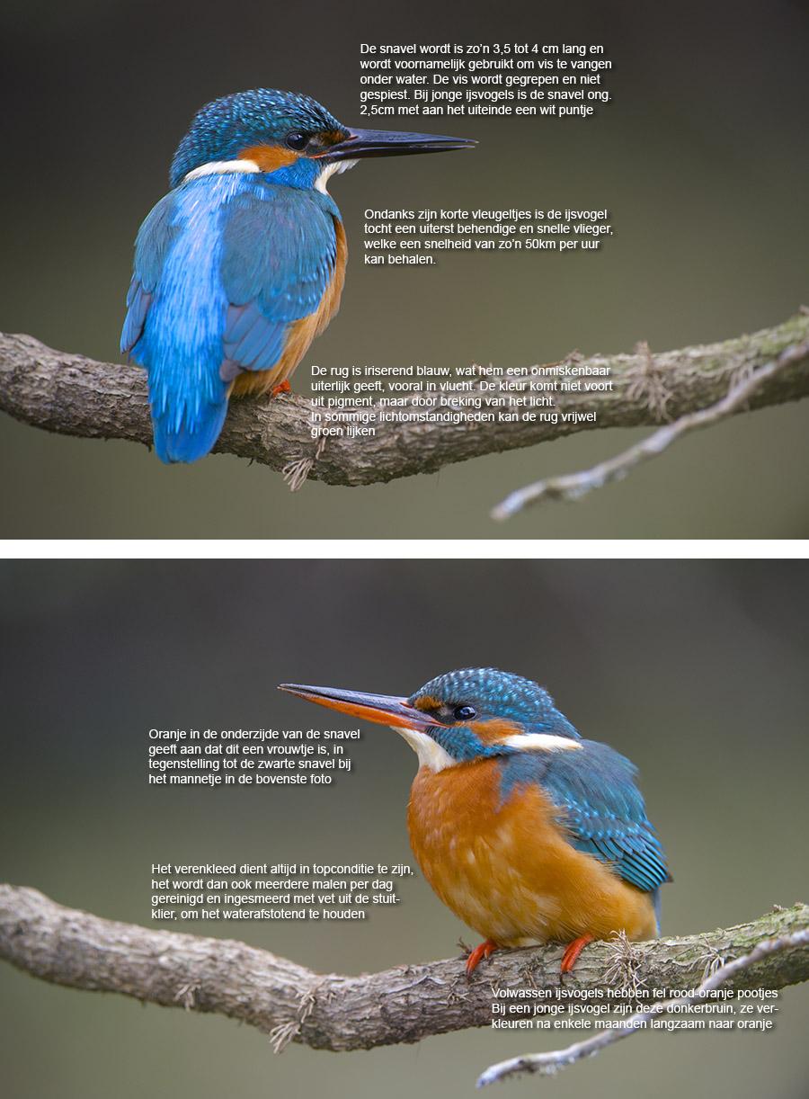 Uiterlijke kenmerken van de ijsvogel